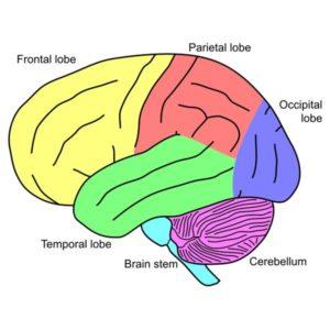 colorful brain anatomy